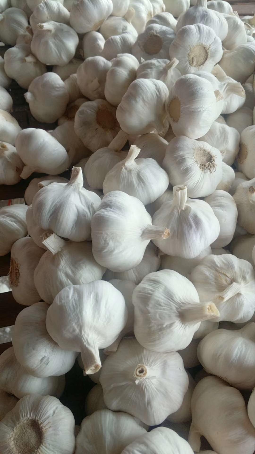 China Garlic Market Daily Report- Feb.21st, 2019