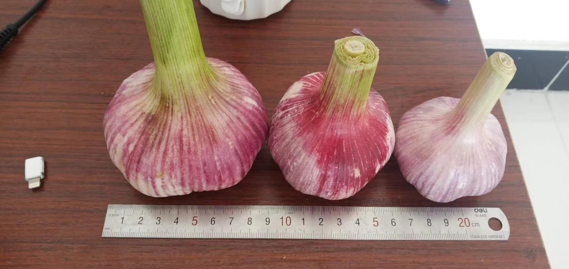 The difference between white garlic and purple garlic