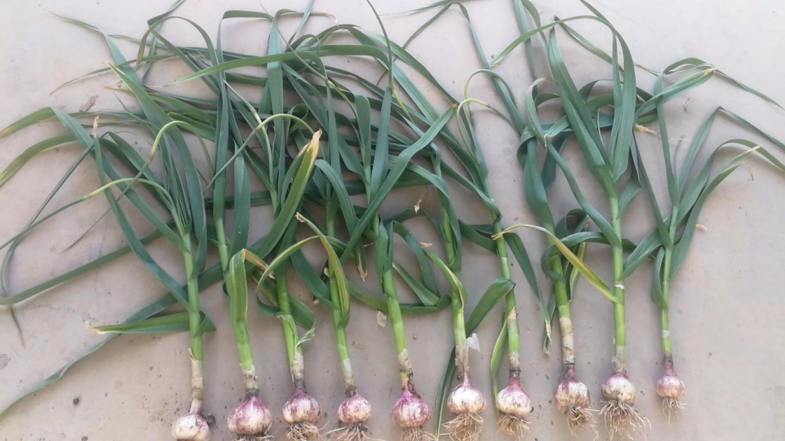 How to pickling fresh garlic