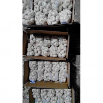China 5.0-5.5 cm pure white fresh garlic export to Kuwait