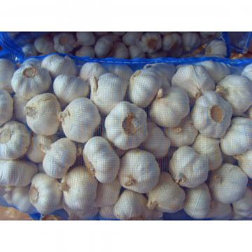 5.5-6.0 cm normal white garlic export to Ecuador