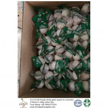 Purple garlic export to Columbia with 3 pieces in 10 kg carton box and 4.5-5.0 cm size.