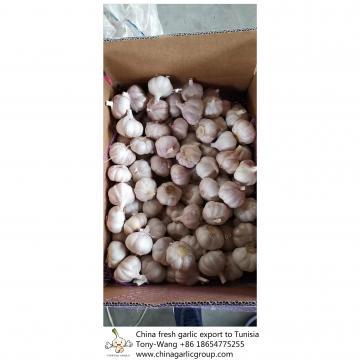 China Fresh garlic export to Tunisia